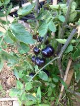 pomodori-neri